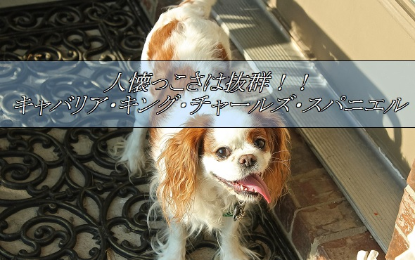 2016_01_15_小型犬-人気2位-キャバリア
