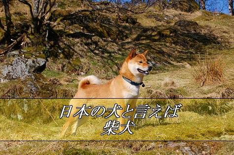 2016_01_15_小型犬-人気3位-柴犬