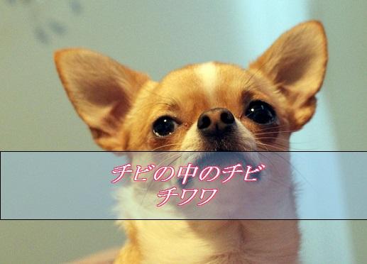 2016_01_15_小型犬-人気4位-チワワ