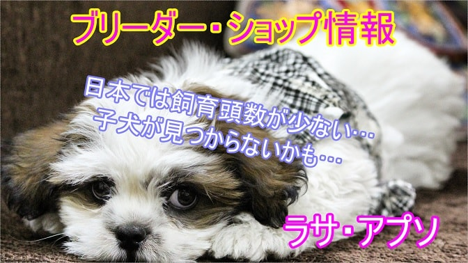 ラサ・アプソ-ブリーダー-ペットショップ-飼育頭数が少ない-レア犬種