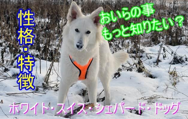 ホワイト・スイス・シェパード・ドッグ-性格・特徴・まとめ