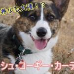 ウェルシュ・コーギー・カーディガン-値段・価格・相場