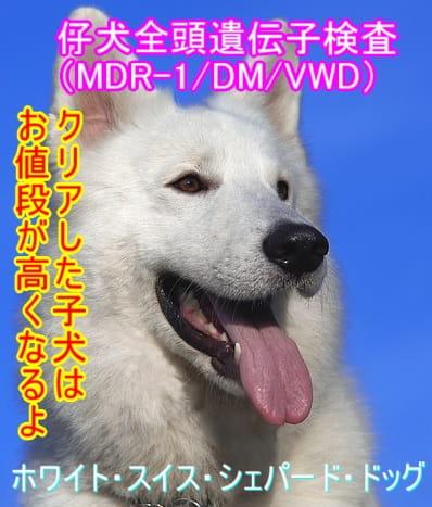 ホワイト・スイス・シェパード・ドッグ-遺伝子検査クリア-子犬-高い