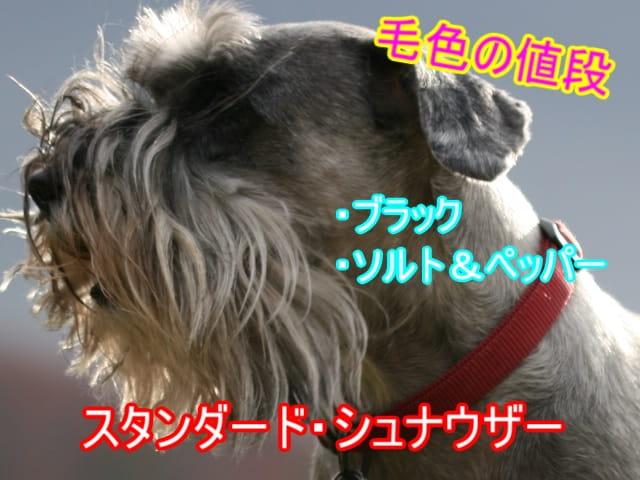 スタンダード・シュナウザー・黒・ソルトペッパー・値段-min