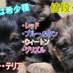 日本では希少種-ボーダーテリア-値段-価格-相場