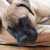 ブルマスティフの子犬