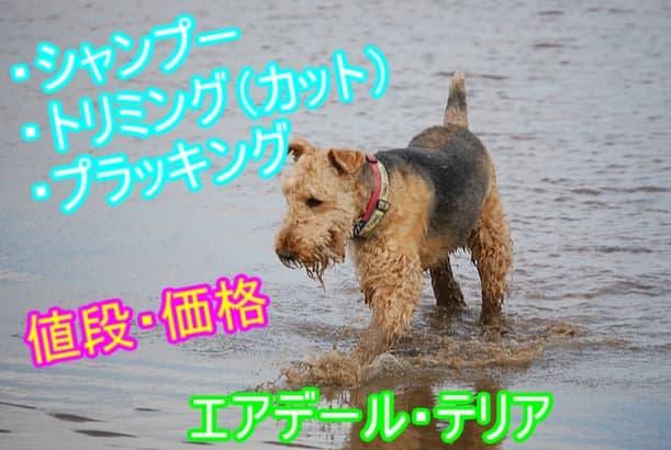 エアデール・テリア・シャンプー・トリミング・プラッキング・料金