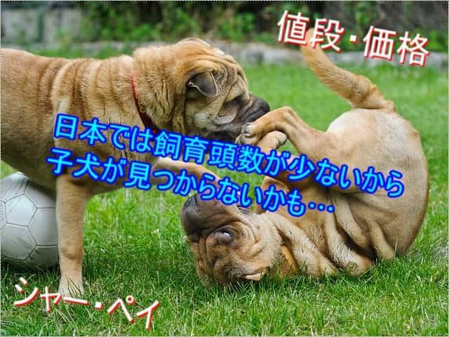 シャーペイ・飼育頭数・少ない・レア犬
