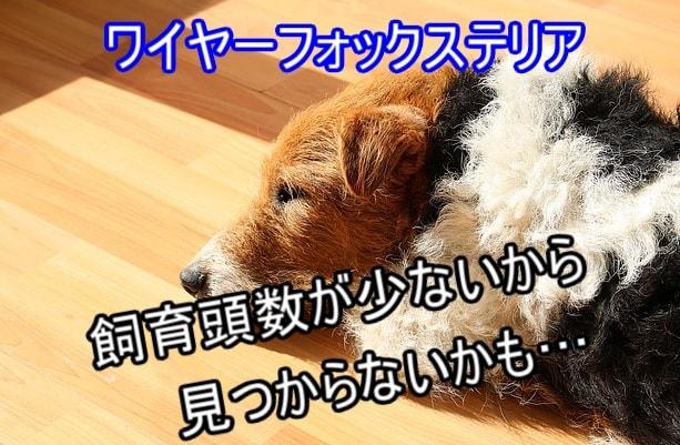 ワイヤーフォックステリア-飼育頭数少ない-ブリーダー