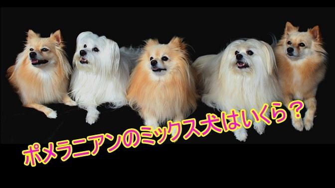 ポメラニアン-ミックス犬-人気-値段