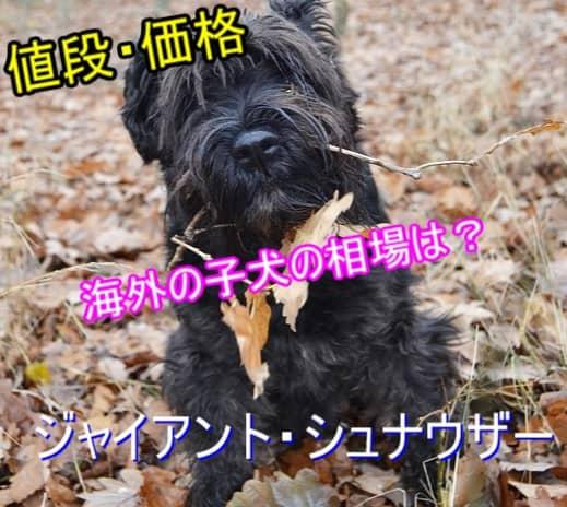 ジャイアント・シュナウザー・海外・子犬・値段