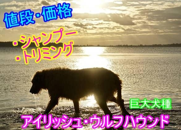 アイリッシュ・ウルフハウンド・シャンプー・トリミング・料金