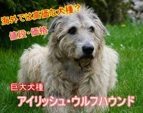 アイリッシュ・ウルフハウンド・海外・子犬・相場