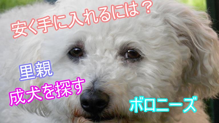 ボロニーズ-安い値段-価格-里親-成犬