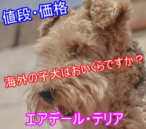 エアデール・テリア・海外・子犬・相場