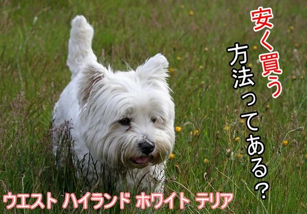 ウエストハイランドホワイトテリア-安く買う方法-里親-成犬を探す