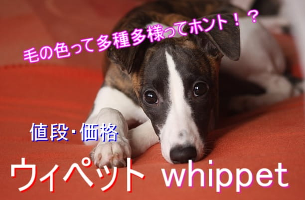 ウィペット-毛色-値段-相場