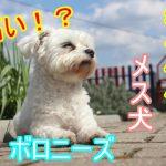 ボロニーズ-希少価値-メス犬-高い-値段-価格