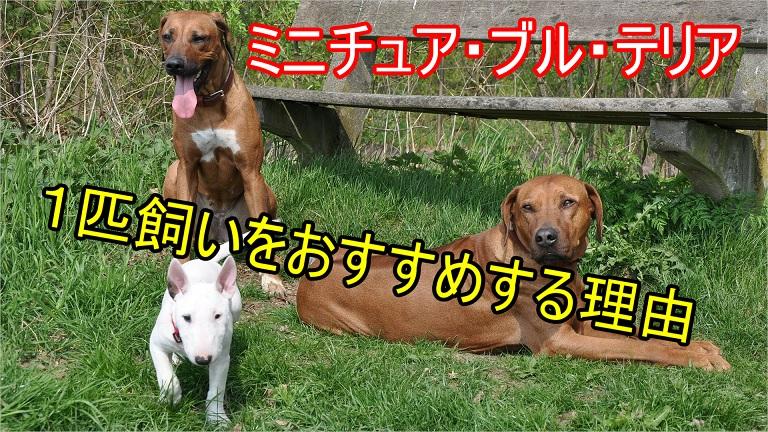 ミニチュア・ブル・テリア-1匹飼いをおすすめする理由