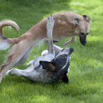 ウィペット-競走馬