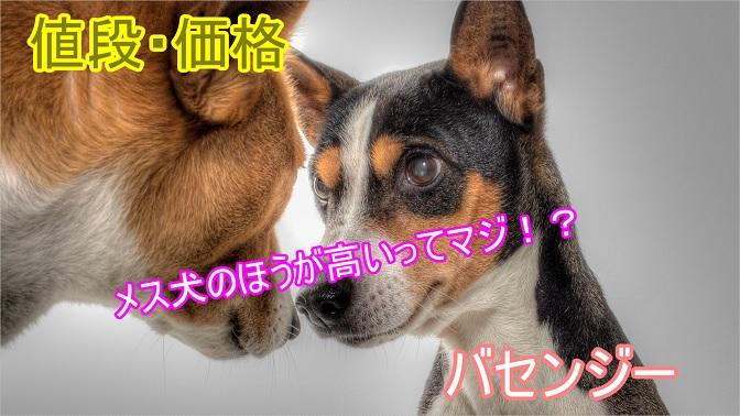 バセンジー-メス犬のほうが高い