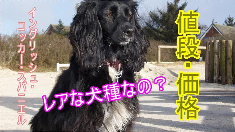 イングリッシュ・コッカー・スパニエル-希少価値