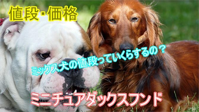 ミニチュアダックスフンド-ミックス犬-値段や相場