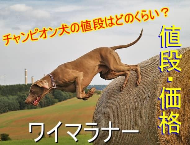 ワイマラナー・チャンピオン・子犬・値段・価格
