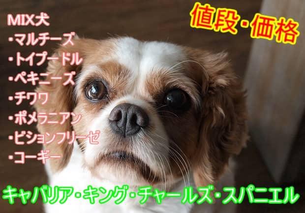 キャバリア・キング・チャールズ・スパニエル-ミックス犬-値段-相場
