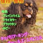 キャバリア・キング・チャールズ・スパニエル-毛色・値段・価格