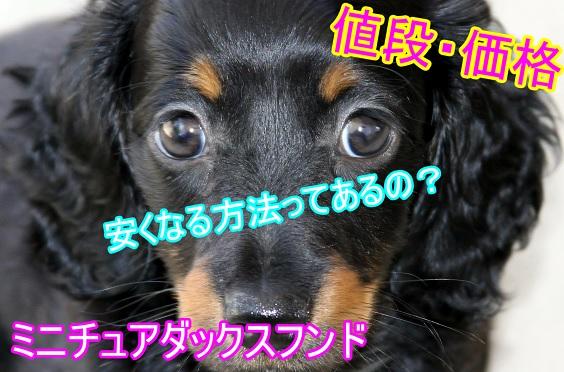 ミニチュアダックスフンド-値段-安くなる-里親-生後日数経過-成犬