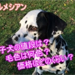 ダルメシアン・子犬・毛色・値段・価格