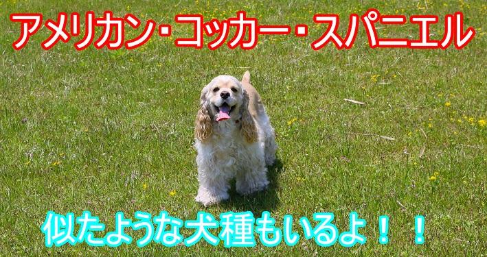 イングリッシュ・コッカー・スパニエル・似た犬種-アメリカン・コッカー・スパニエル