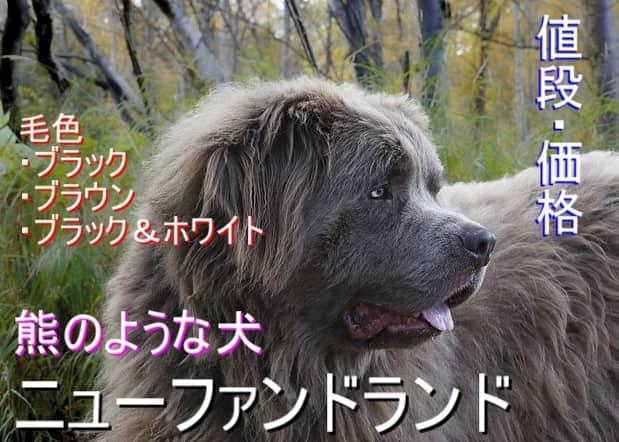 熊のような犬-ニューファンドランド・毛色・値段・価格