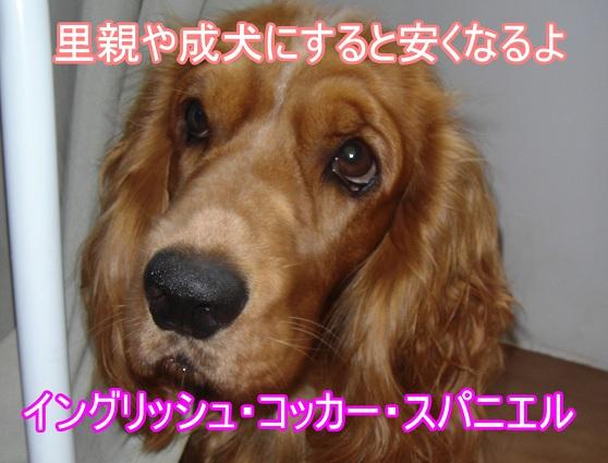 イングリッシュ・コッカー・スパニエル-安い犬-里親-成犬