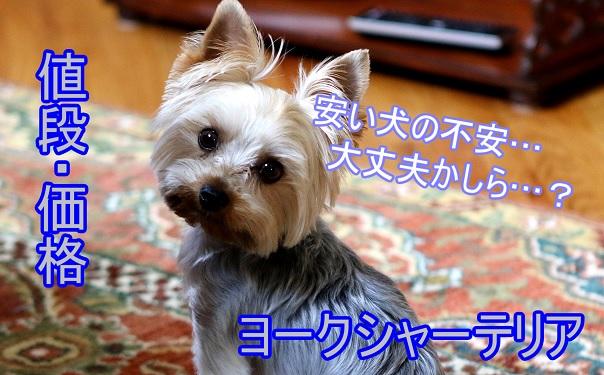 ヨークシャテリア-ヨーキー-安い値段の犬-不安-なぜ
