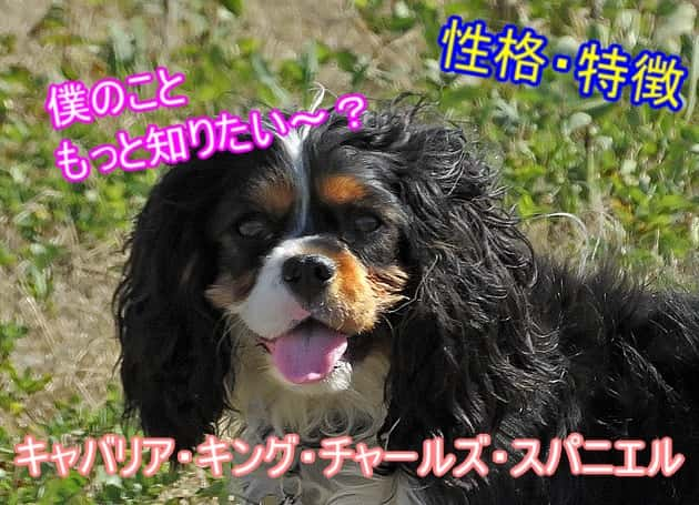 キャバリア・キング・チャールズ・スパニエル・性格-特徴-まとめ