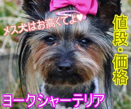 ヨークシャーテリア-ヨーキー-メス犬-値段-高い-理由