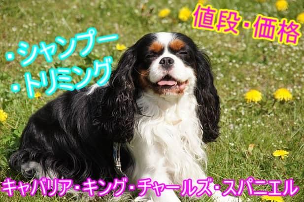 キャバリア・キング・チャールズ・スパニエル-シャンプー・トリミング-料金