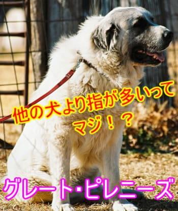 グレート・ピレニーズ・性格・特徴・他の犬の指と比較
