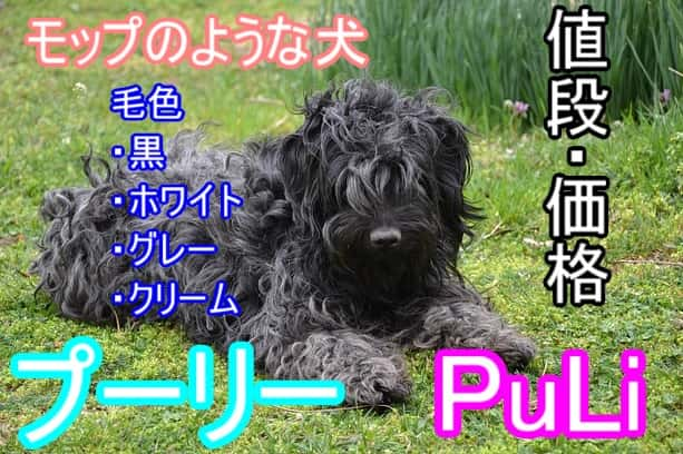 プーリー・子犬・毛色・値段・相場
