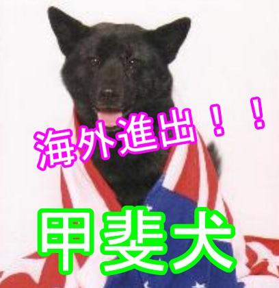 甲斐犬--海外で注目される