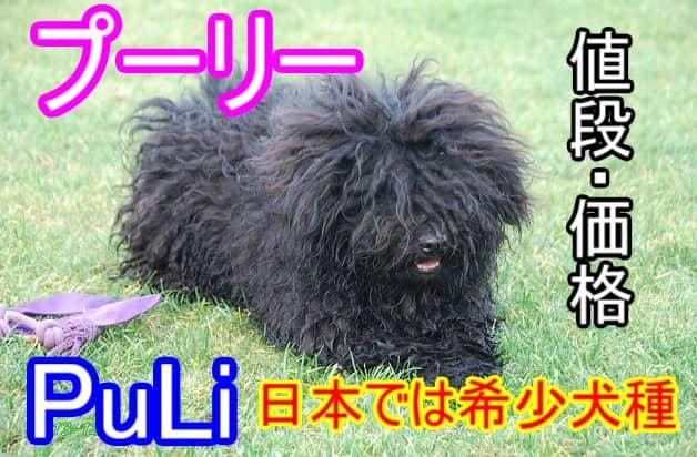プーリー・日本では希少犬種