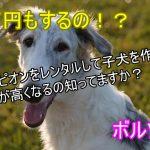 ボルゾイ-チャンピオン-レンタル-子犬-値段が上がる