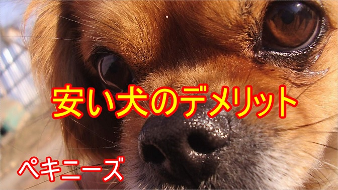 ペキニーズ-安い犬-値段-デメリット-遺伝疾患