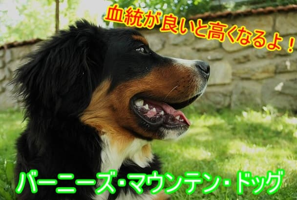 バーニーズマウンテンドッグ・チャンピオン犬・値段・高い