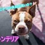 ボストンテリア-子犬-値段-高い-なぜ