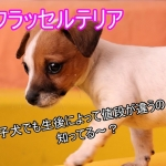 ジャックラッセルテリア-子犬-値段-違い-生後日数