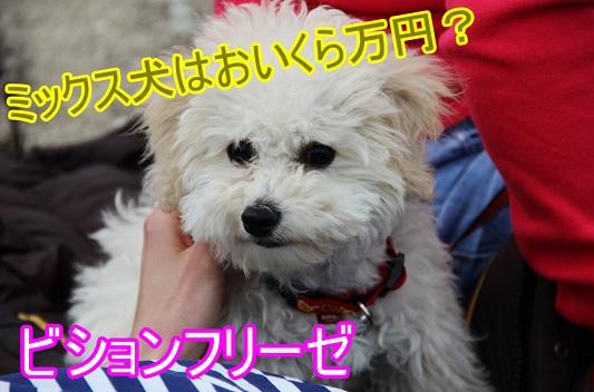 ビションフリーゼ-ミックス犬-値段-相場