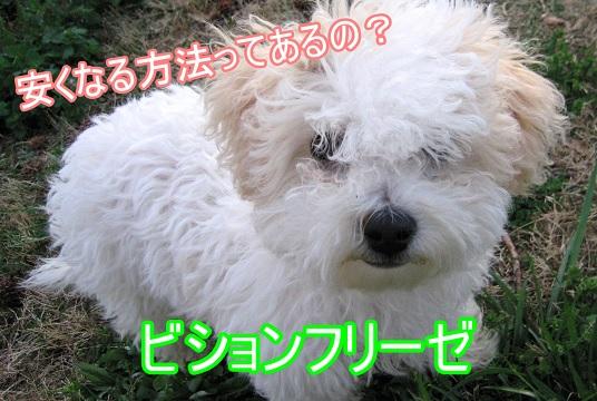 ビションフリーゼ-安い値段-里親-成犬-生後日数経過の犬